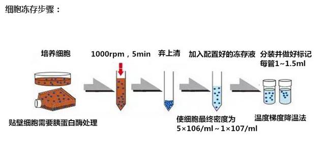 数量: 大量 是否是肿瘤细胞: 0 物种来源: 小鼠 运输方式: 冻存运输